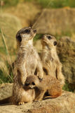 Family of meerkats with a baby Royalty Free Stock Photo