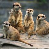 Family of Meerkats Royalty Free Stock Photos