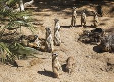 Family of meerkats get warming Royalty Free Stock Images