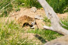 A family of meerkats got out of the hole early in the morning Stock Photography