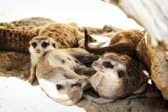 Family of Meerkats. Image of a family of Meerkats laying down next to each other Stock Image