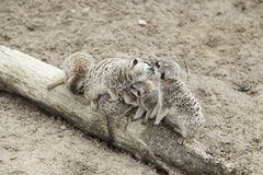 Family of meerkats Stock Image