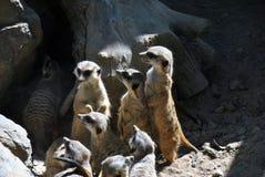 Family of meerkats stock photos