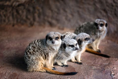 A family of Meerkats Stock Images