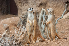 Family of Meerkats standing alert in the desert environment Stock Images