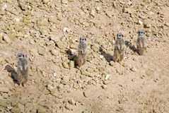 Four Meerkats stood looking Stock Photo