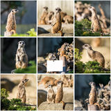 Family of meerkats  on a warm autumn evening Royalty Free Stock Image