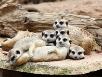 Family of Meerkats Stock Photography
