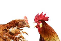 Family metaphor with hen and rooster Stock Image