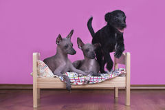 Family of Mexican hairless dogs in the morning in bed Stock Photo