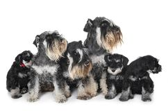 Family miniature schnauzer. In front of white background stock photos