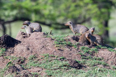 Family Of Mongooses Beside Dens Stock Photo
