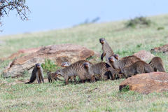 Family of Mongooses Travelling Across Savanna Stock Images