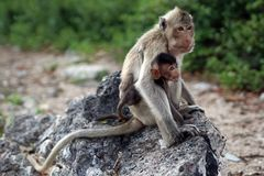 Family of monkey – mother and child. Family of monkey mother and child Stock Photography
