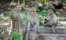 Family of monkey Royalty Free Stock Photo