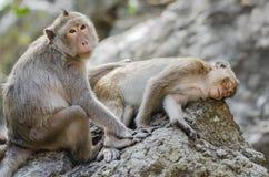 Family of monkey Stock Photo