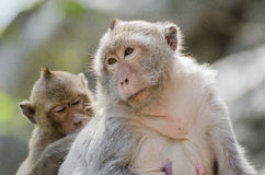 Family of monkey Royalty Free Stock Photography