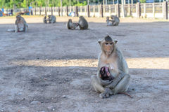 Family monkey in Lopburi, Thailand Stock Images