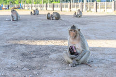 Family monkey in Lopburi, Thailand.  Royalty Free Stock Images