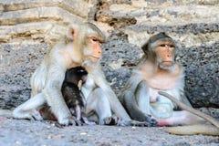 Family monkey in Lopburi, Thailand.  Royalty Free Stock Photos