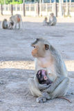 Family monkey in Lopburi, Thailand Royalty Free Stock Photos