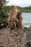 Family of monkey – mother and child. Family of monkey mother and child Royalty Free Stock Photo