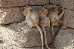 Family of Monkey sitting on stone brick hiding heat from sun light in the summer, Candid animal wildlife picture, group of mammal. On historical travel Royalty Free Stock Images