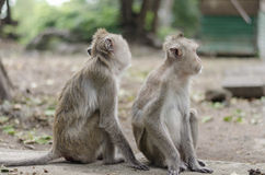The family of monkey. Two of monkey stays together doing in everything Stock Images