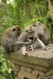 Family of monkeys Royalty Free Stock Photos