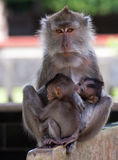 Family of monkeys. Stock Photos