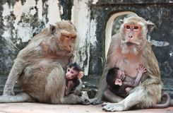 Family of monkeys Royalty Free Stock Photo
