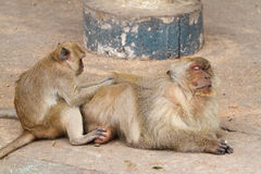 Family of monkeys Stock Photography