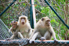 Family of monkeys. FatherMother and Baby Sitting together stock photo