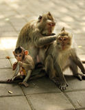 Family of monkeys Stock Image