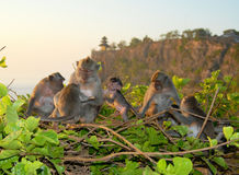 Family of monkeys. Near to Ulu Watu Temple (Bali Royalty Free Stock Photo