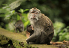 Family of monkeys Royalty Free Stock Images