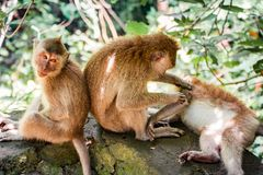 Family of Monkeys Cleaning Each Other stock photography