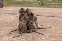 Family monkeys ( Crab-eating macaque )  cold in morning at the park Royalty Free Stock Images