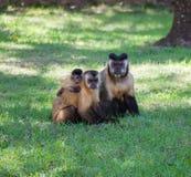Family of Monkeys. Cute family of Capuchin Monkeys in Brazil Stock Photo