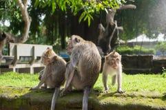 Family of monkeys Royalty Free Stock Photos