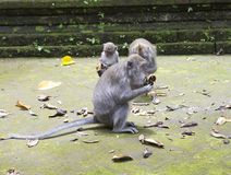 Family of monkeys Long-tailed macaque-Macaca fascicularis in Sangeh Monkey Forest in Bali, Indonesia.  Stock Photo