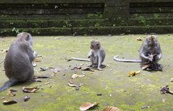 Family of monkeys Long-tailed macaque-Macaca fascicularis in Sangeh Monkey Forest in Bali, Indonesia.  Royalty Free Stock Image