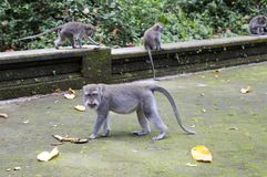 Family of monkeys Long-tailed macaque-Macaca fascicularis in Sangeh Monkey Forest in Bali, Indonesia.  Stock Images