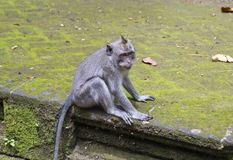 Family of monkeys Long-tailed macaque-Macaca fascicularis in Sangeh Monkey Forest in Bali, Indonesia.  Stock Photos