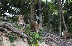 Family of monkeys macaca fascicularis in forest stock photography