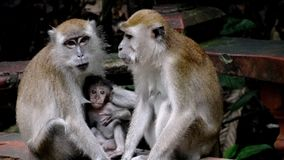 Monkeys feed their hungry cubs, sitting on a bench royalty free stock image
