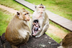Family of monkeys. Monkey baby with his parents in  Cambodia Stock Images