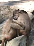 Family of monkeys Royalty Free Stock Image