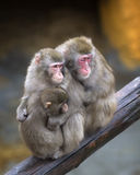 Family of monkeys - mother, father and child Stock Images