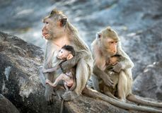 The family of monkeys. Stock Images